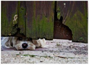 White dog peeking under a fence to add curiosity